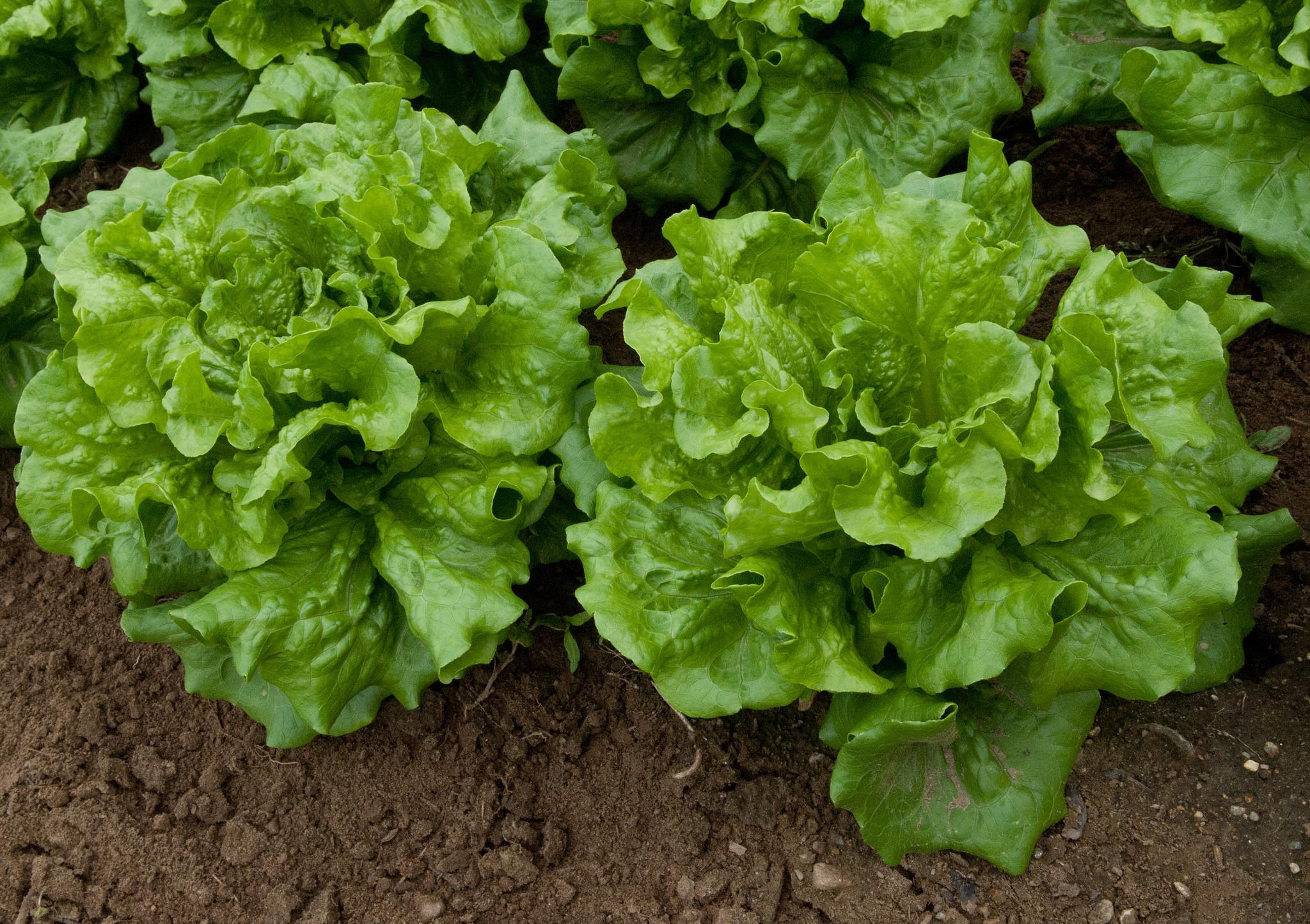 Generic lettuce