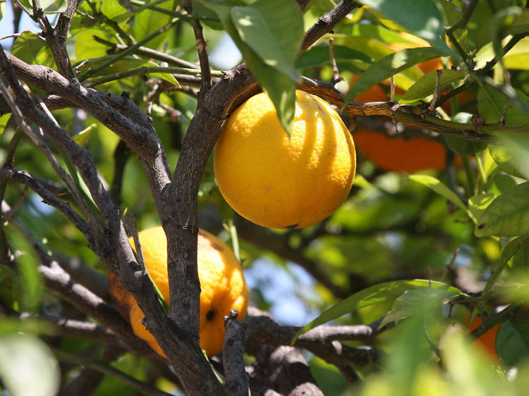 Where to go fruit picking near Sydney