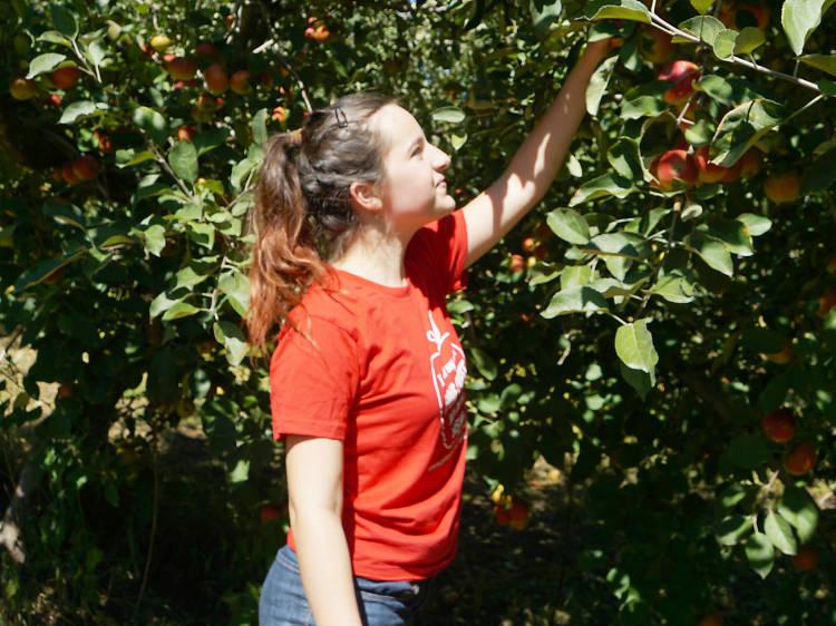 Apples: Pine Crest Orchard