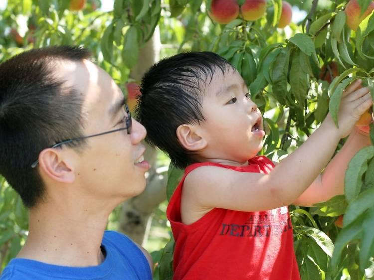 Stonefruit: Canoelands Orchard