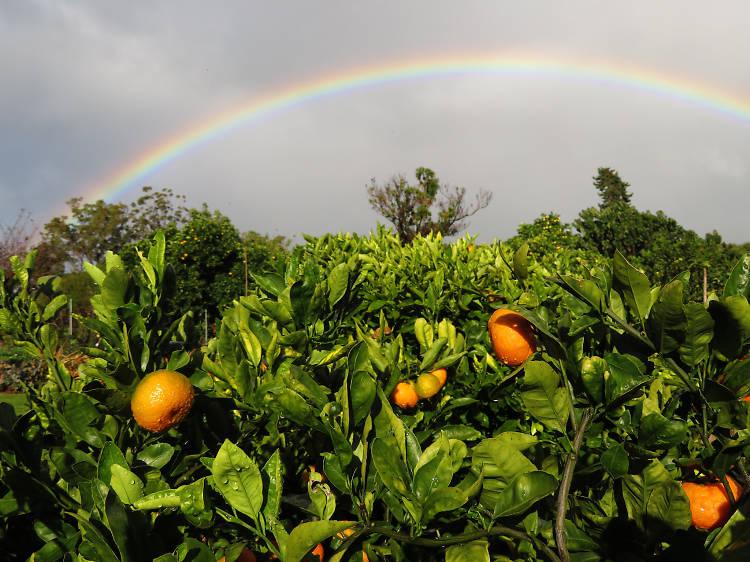 Citrus: Ford's Farm