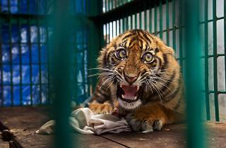 (Photograph: Saved but caged, Steve Winter)