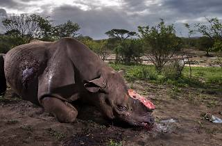 (Photograph: Memorial to a species, Brent Stirton)