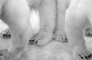 (Photograph: Polar pas de deux, Eilo Elvinger)