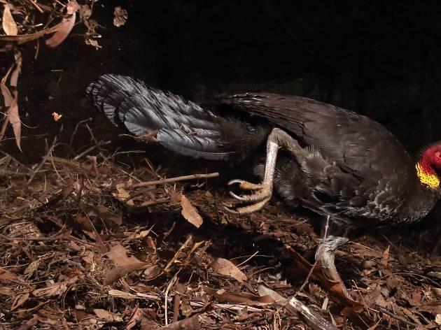 (Photograph: The incubator bird, Gerry Pearce)