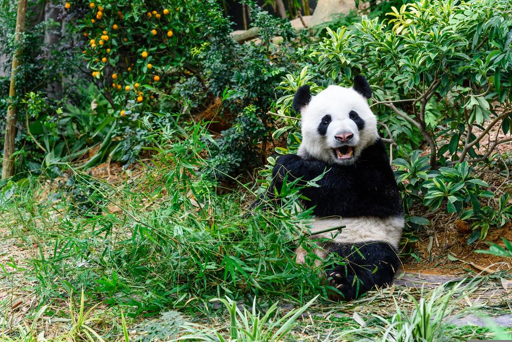 Because of cuddly pandas