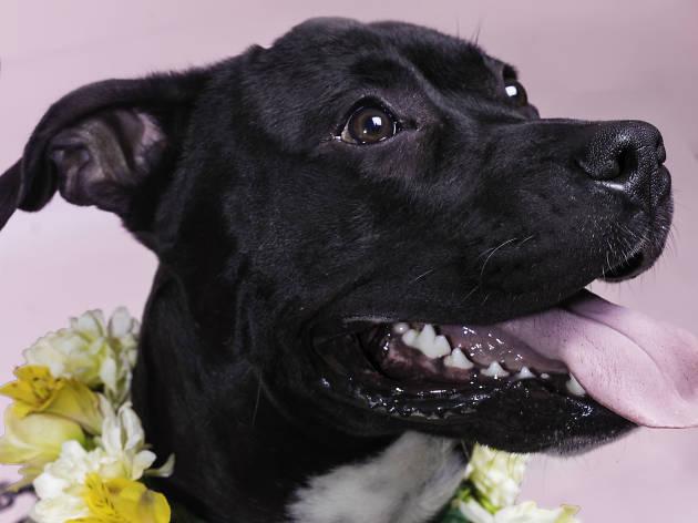 Pitbull con arreglo floral