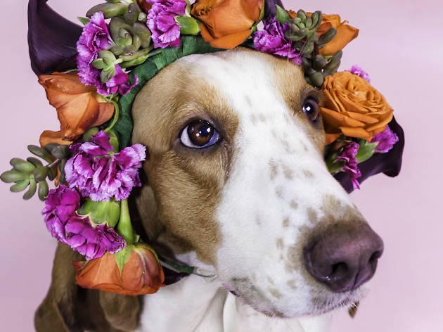 Basset hoound con arreglo floral