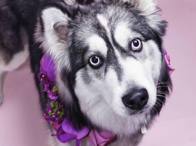 Husky con arreglo floral