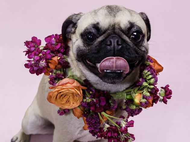 Pug con arreglo floral