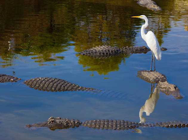 An egret stands on the back of an alligator in Louisiana