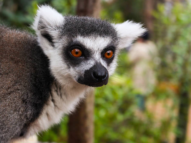 In with the Lemurs at ZSL London Zoo