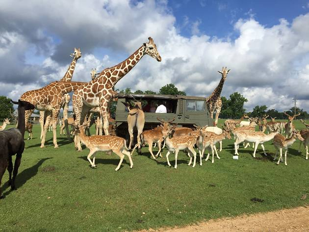 Giraffes and deer crowd around a safari truck at a wildlife park in Louisiana