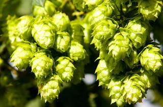 Hop Pickin' at Red Hill Brewery