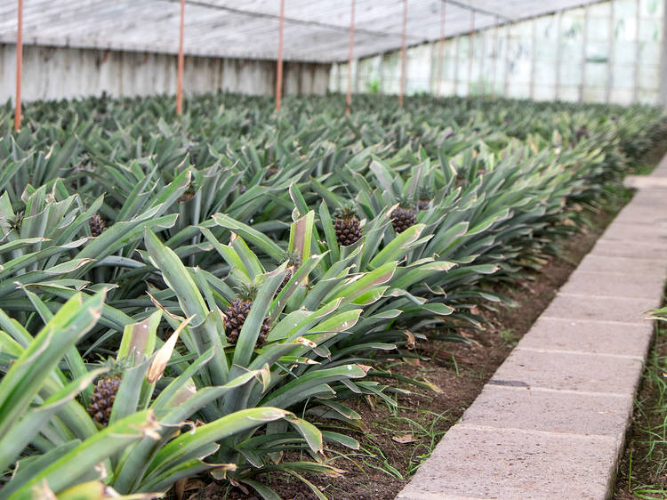 Check out the greenhouses where piña coladas come from