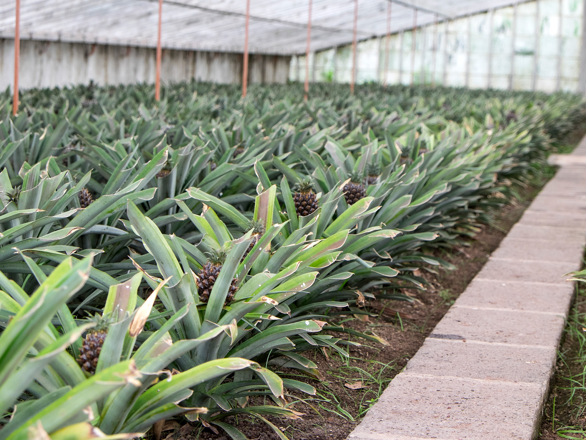 Pineapples, Azores