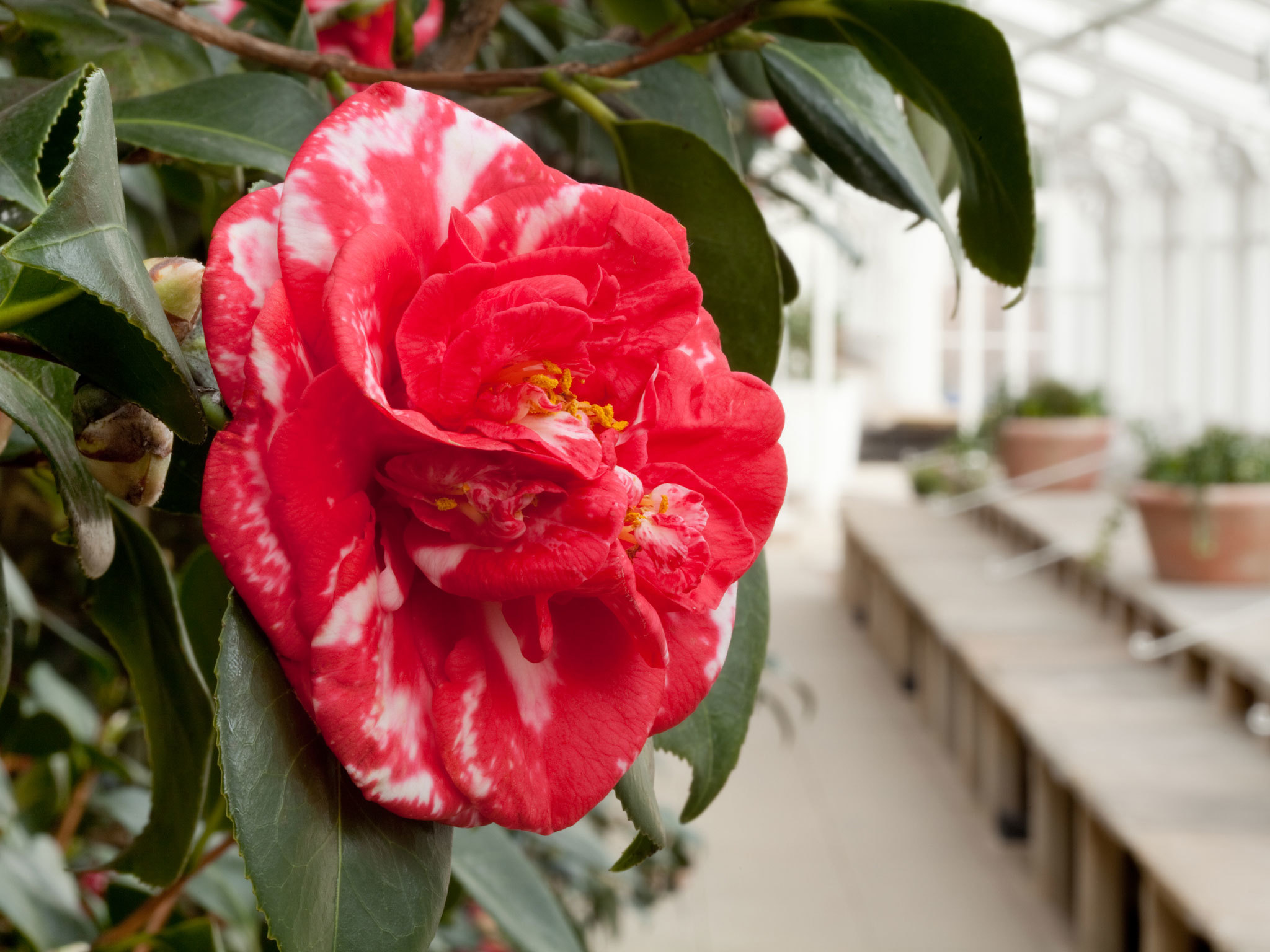 Camellias at Chiswick House
