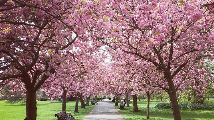 Cherry Blossom in Greenwich Park