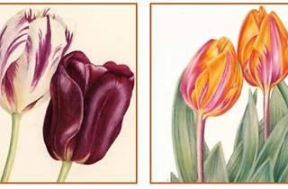 Tulipa, tulipae