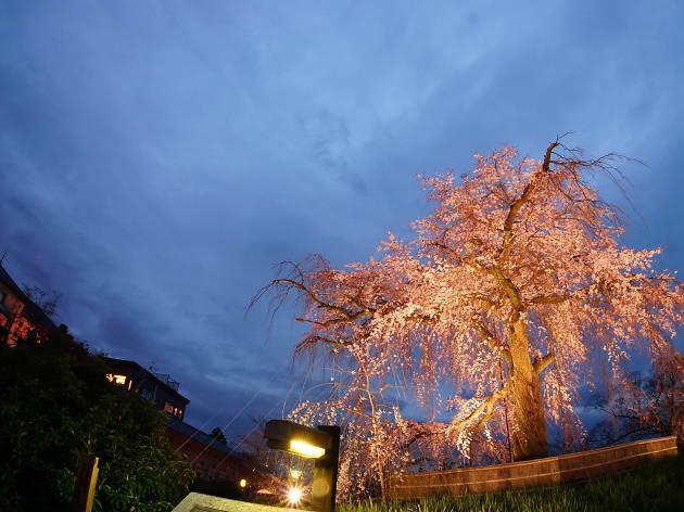 京都—櫻花日與夜