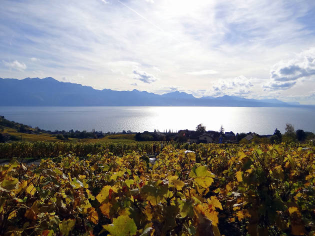Lake Geneva, vinery, wine, Time Out Switzerland