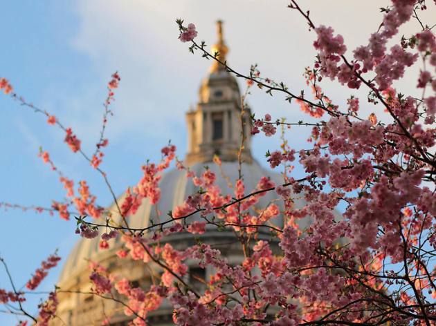 St Paul's Cathedral cherry blossom