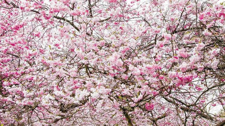 Cherry blossom St James's Park