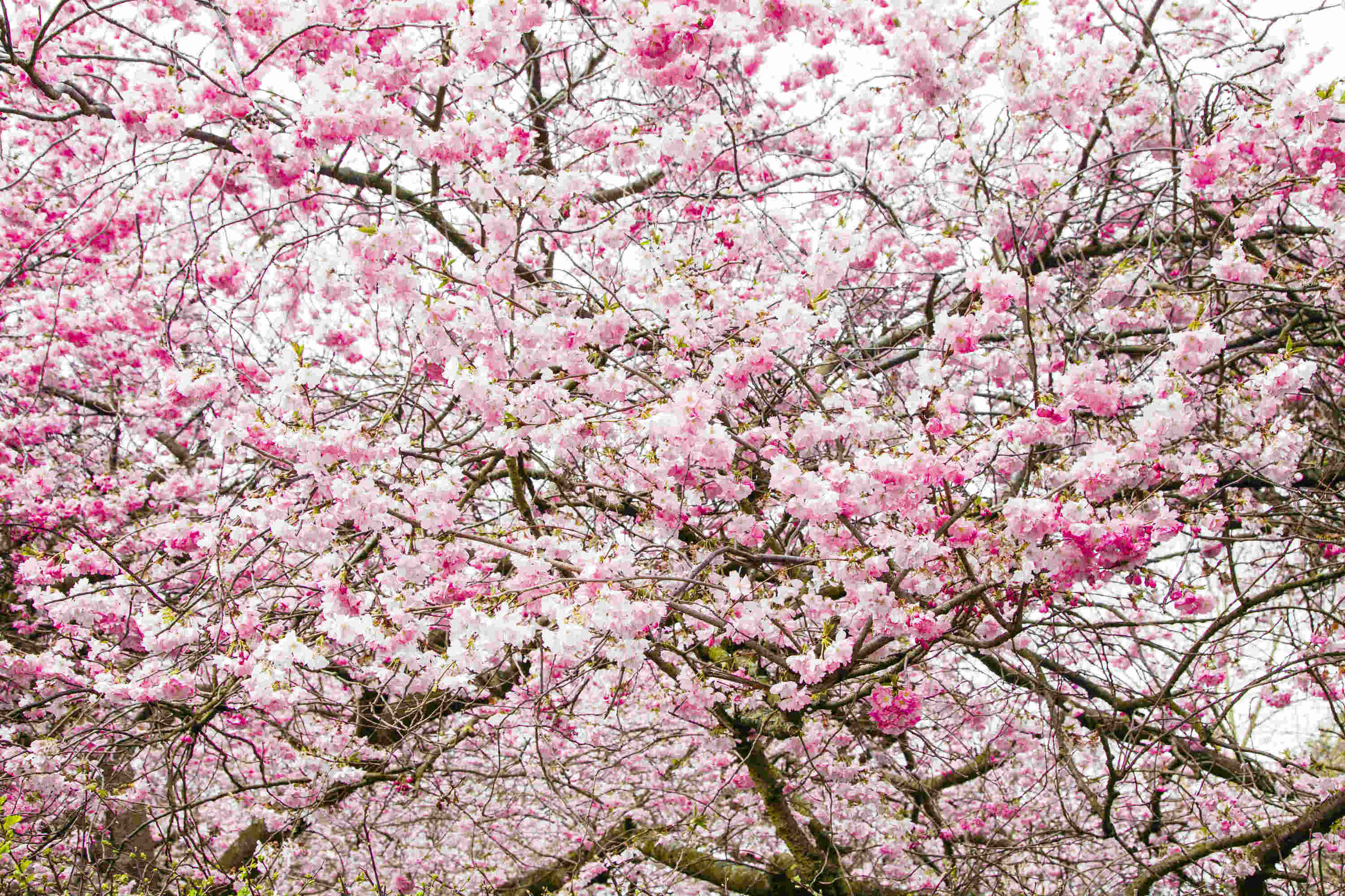 The best places to see cherry blossom in London