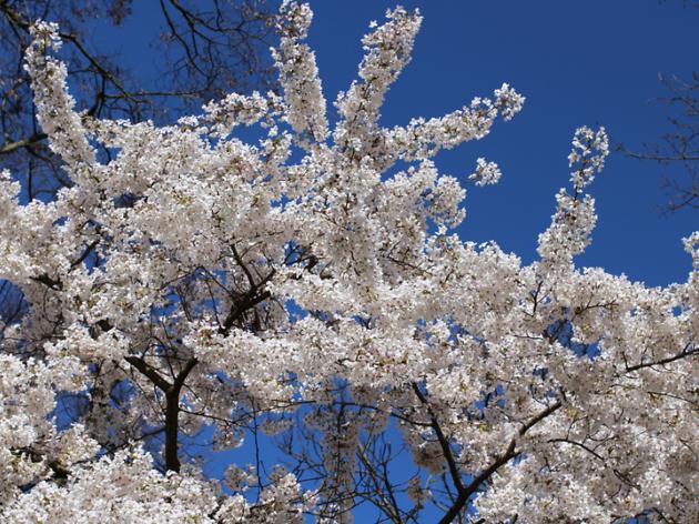 Kyoto Garden, Holland Park cherry blossom