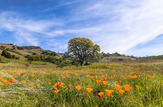Mount Diablo poppies