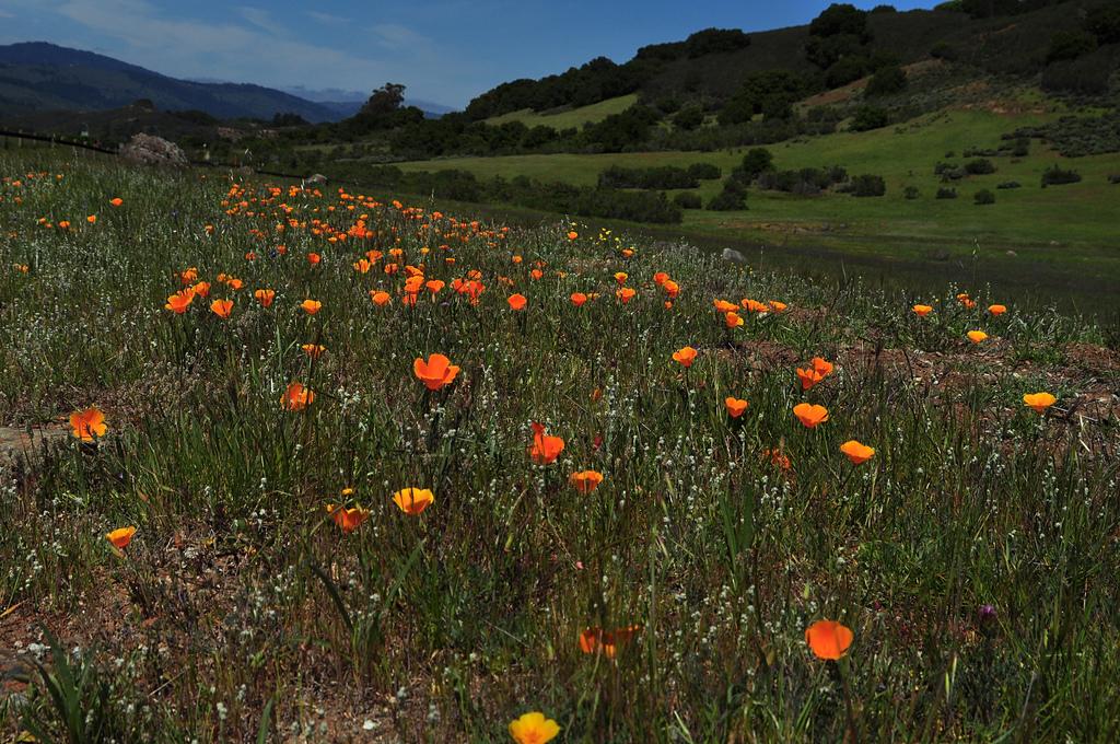 wildflowers, flowers, hikes, edgewood, park, poppies