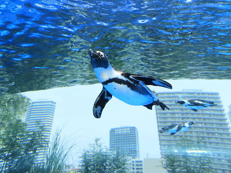 Watch out for the 'flying' penguins at Sunshine Aquarium