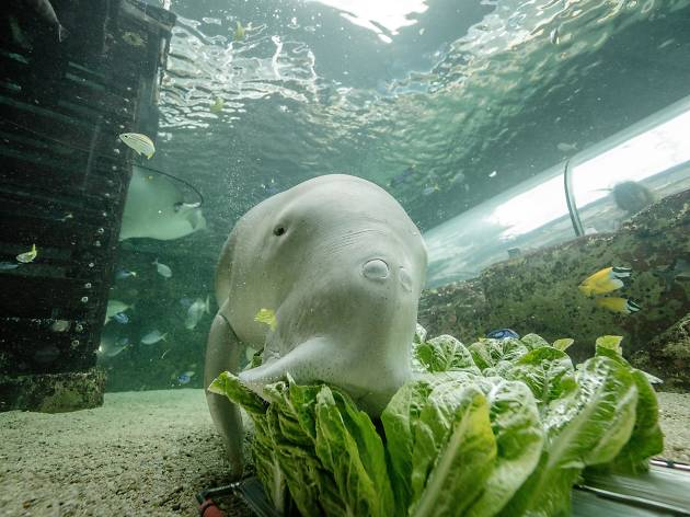 Wuru the dugong enjoying some lettuce.