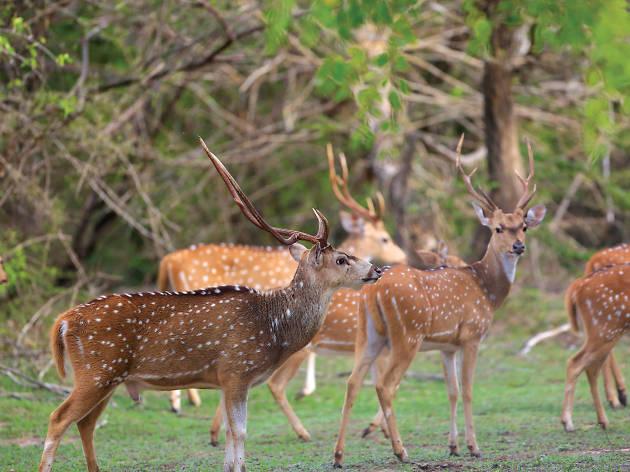 Sri Lankan Spotted Deer