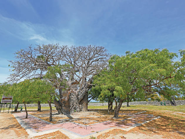 The exotic Baobab Tree