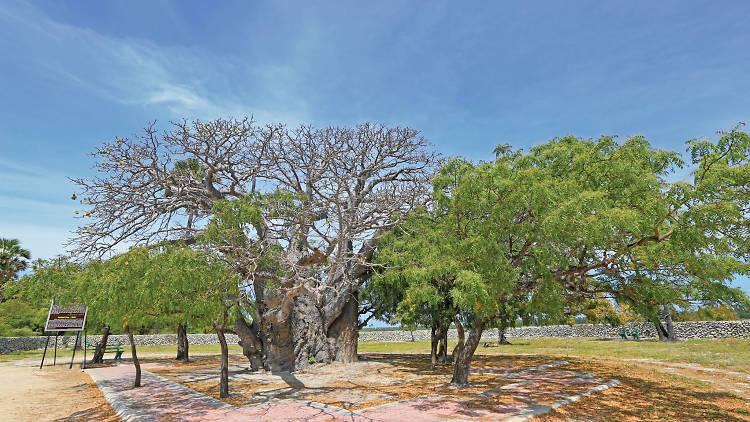 The exotic Baobab Tree