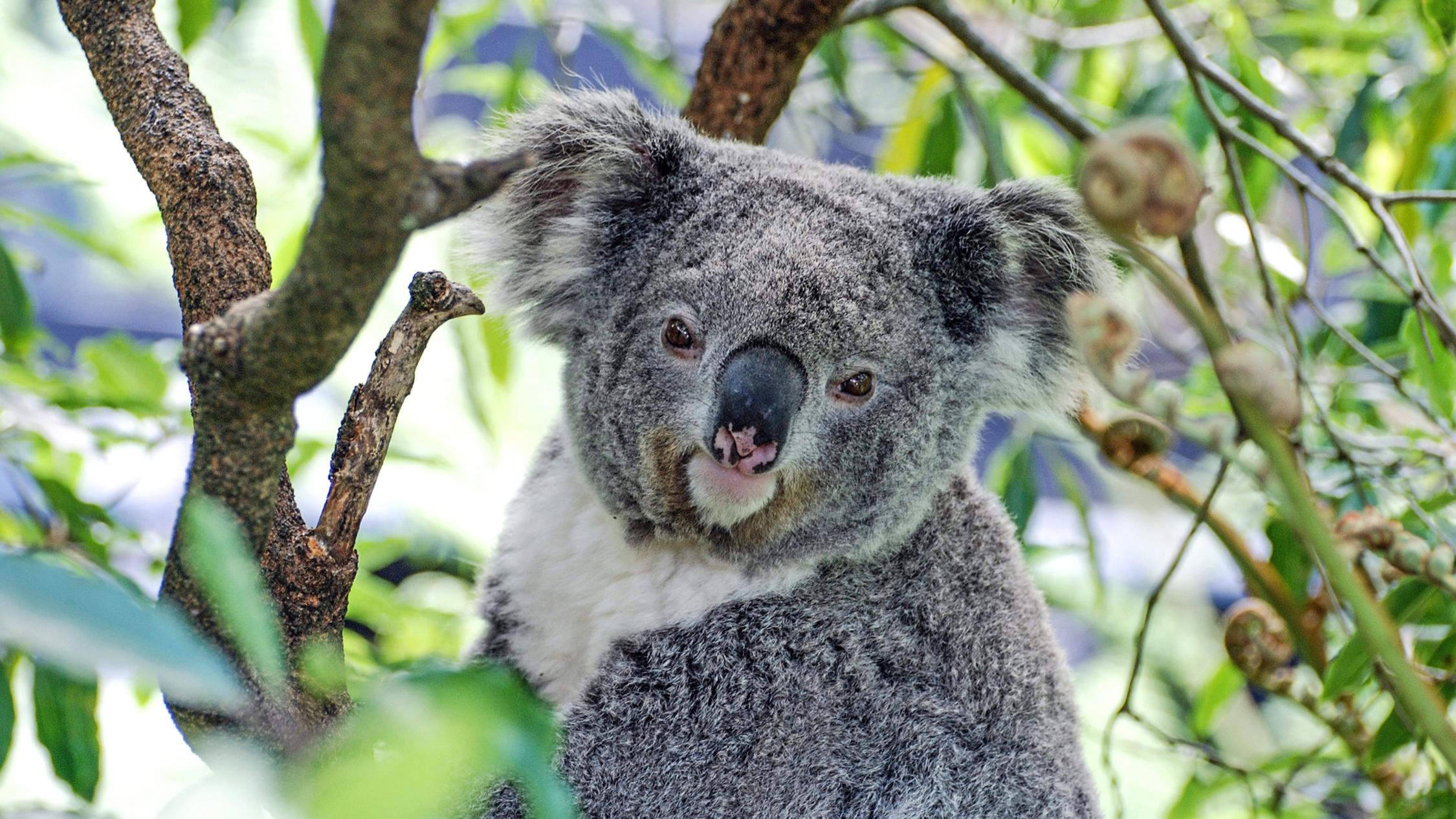 Generic koala