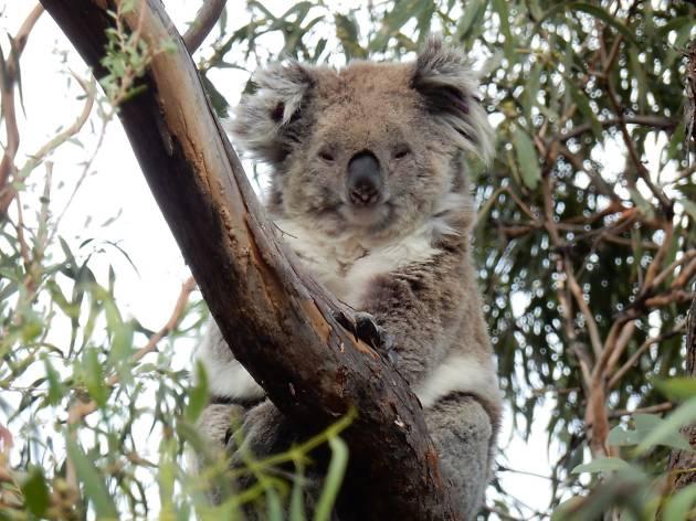Koala Raymond Island