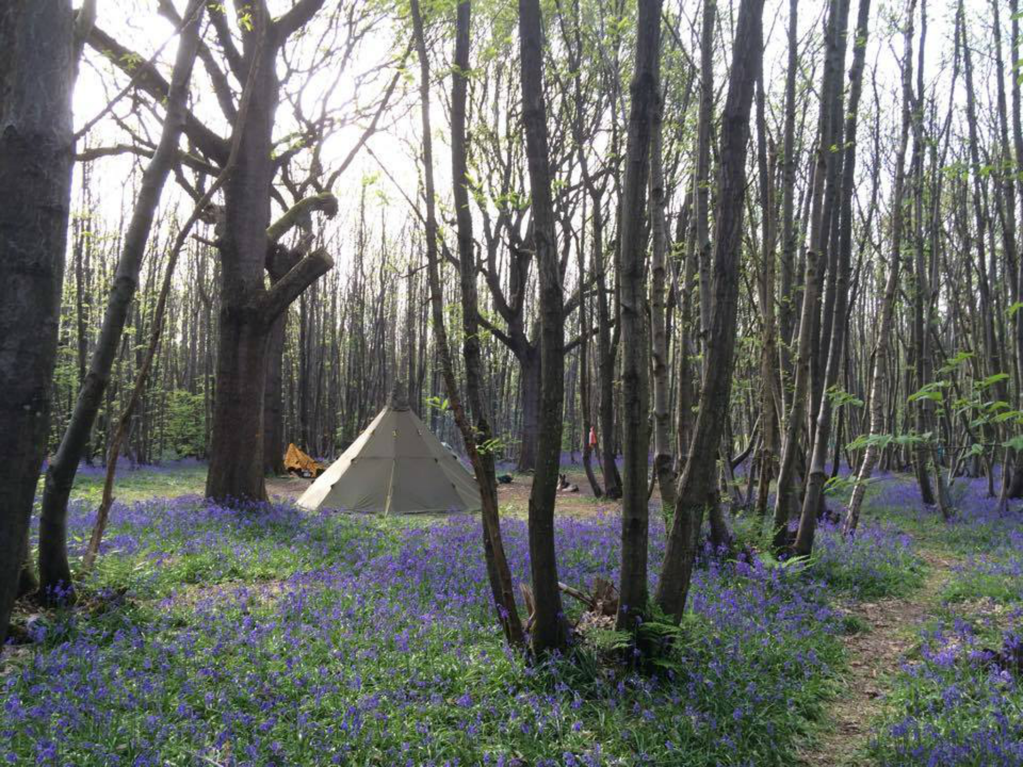 Tent in Forest with Lavender
