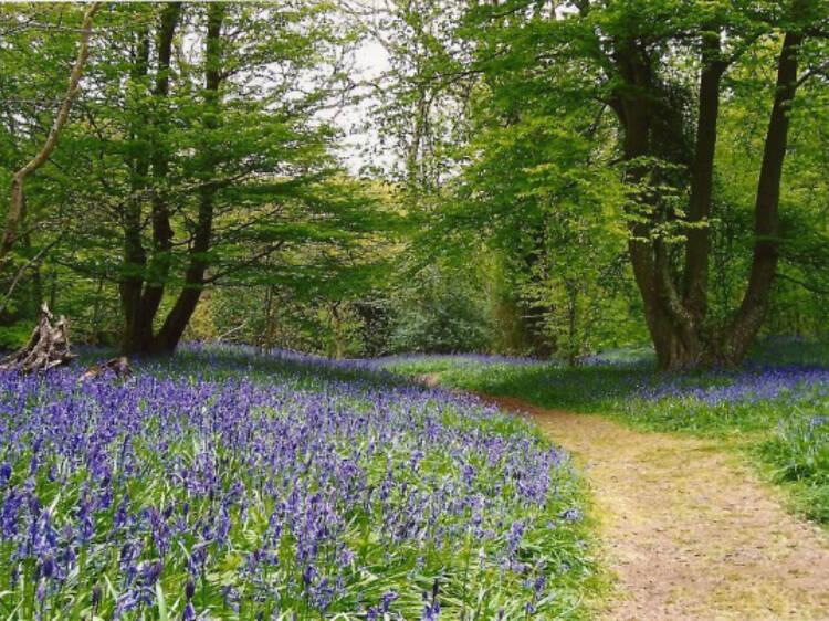 Arlington Bluebell Walk and Farm Trail, Sussex