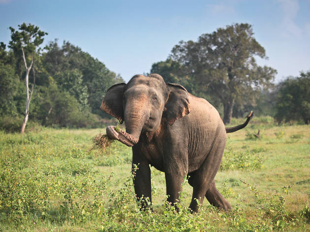 Witness herds of elephants and wildlife at the Kaudulla National Park.