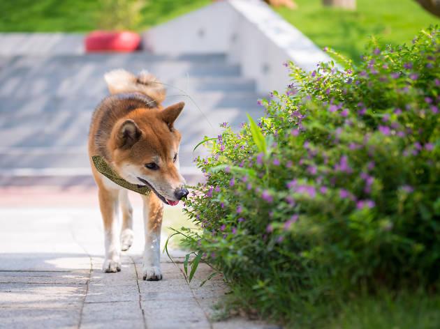 Shiba in a dog park