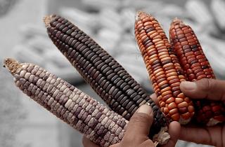 El maíz en los tiempos de guerra