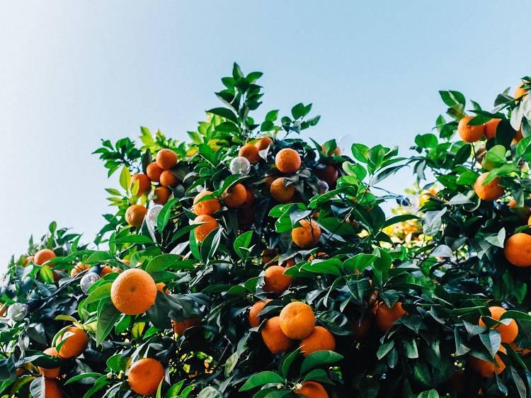 Mandarin and kumquats