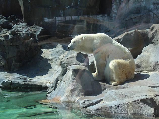 polar bear sunning on a rock