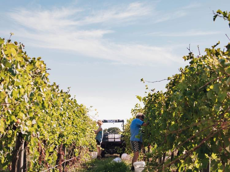 For die-hard wine lovers: Scotchmans Hill