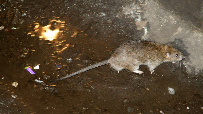 See a map of the most rat-infested neighborhoods in NYC
