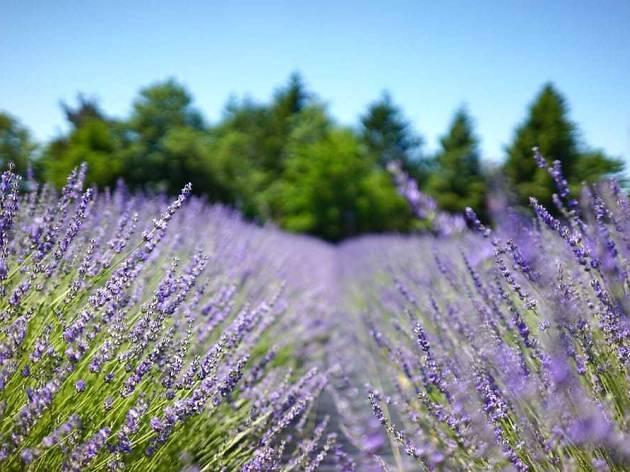 Fields Of Lavender Long Island