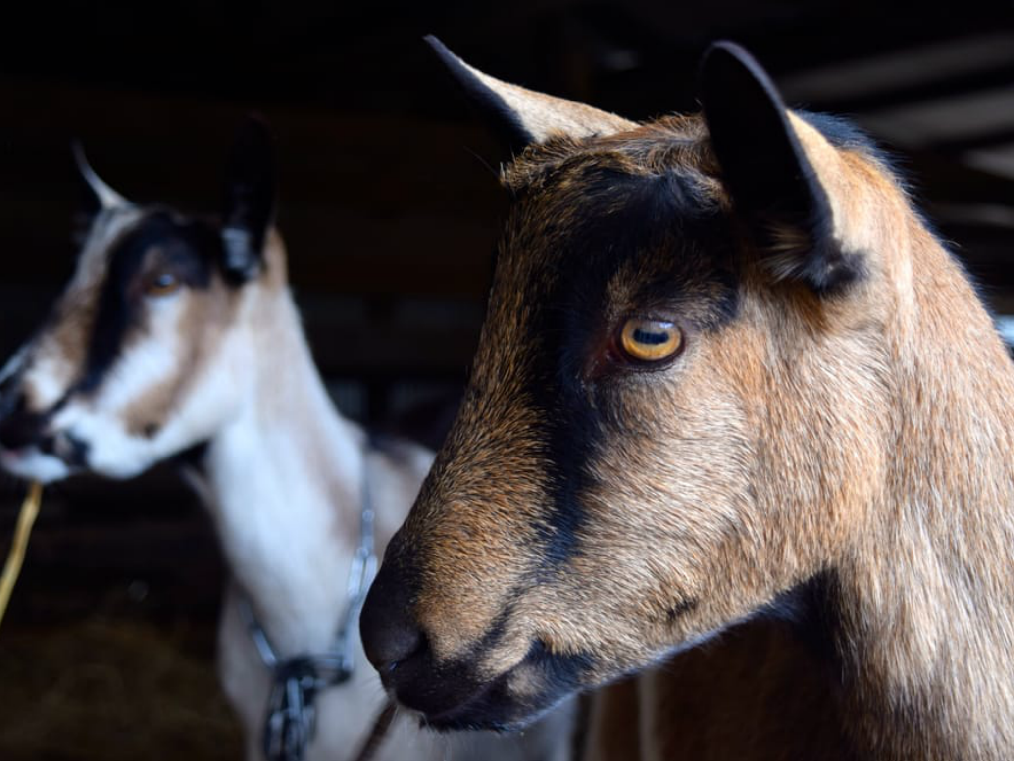 Harley Farms goats