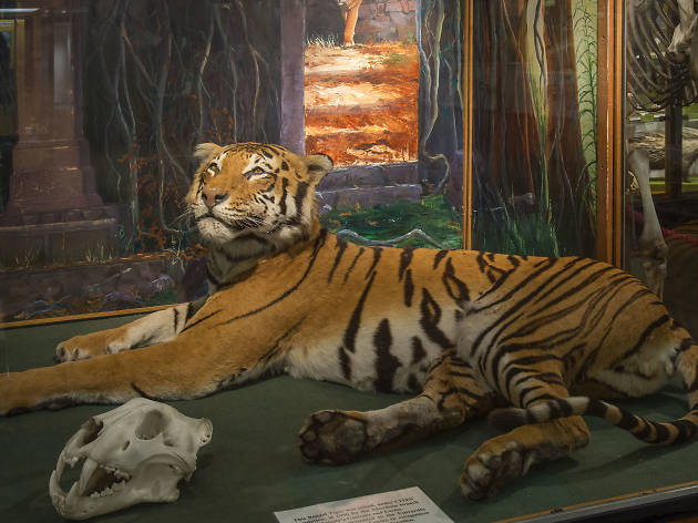 stuffed tiger taxidermy aberdeen university zoology museum